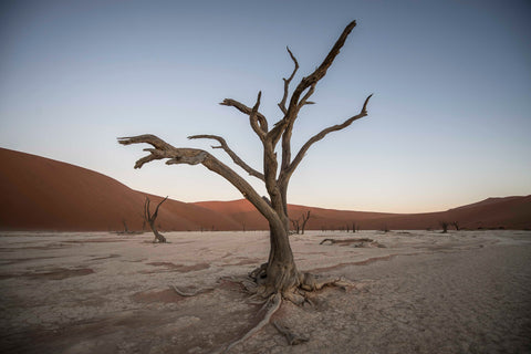 Camel Thorn Tree, Deadvlei, Namibia