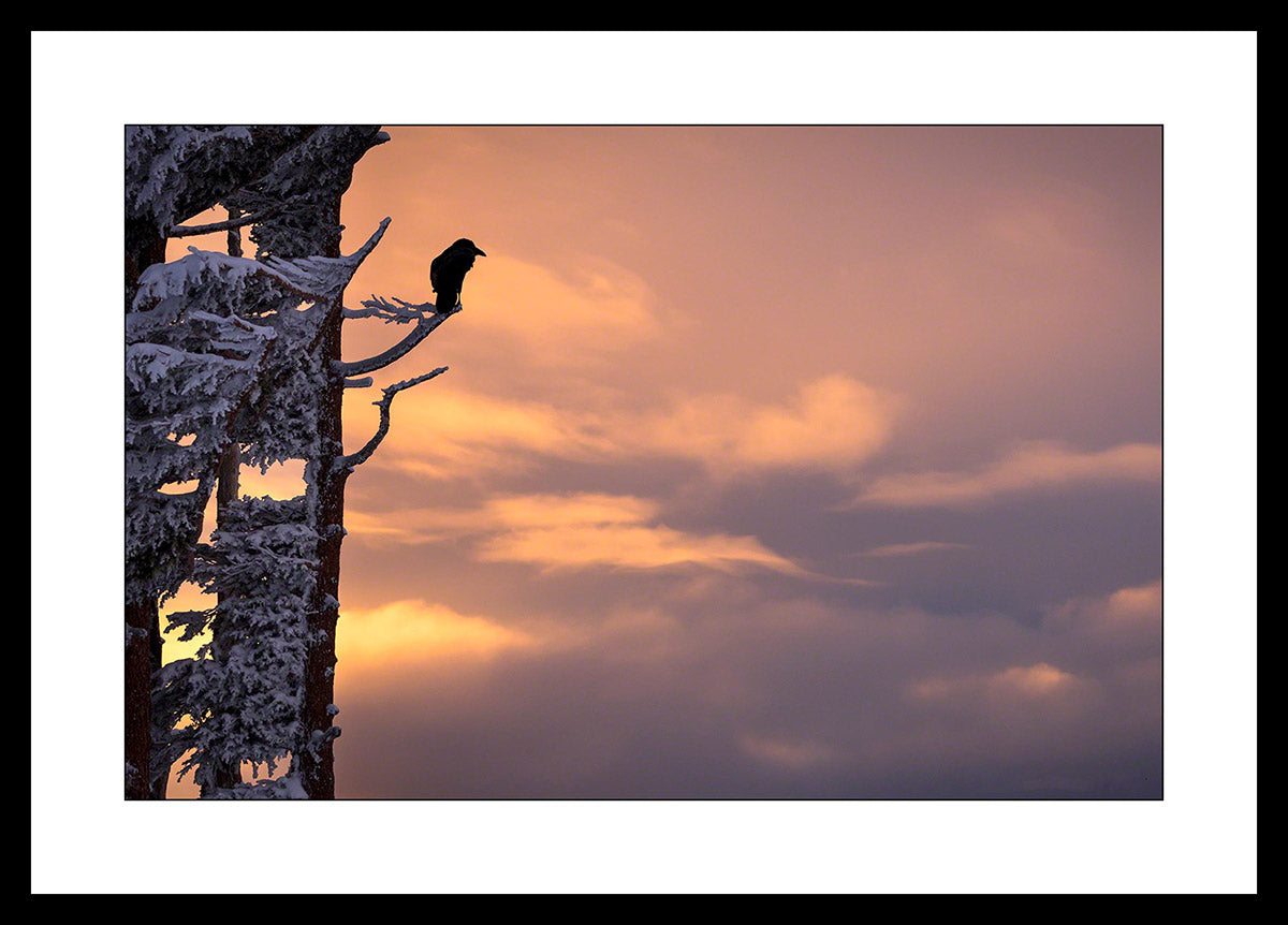 Limited ed. Raven Print - SUNSET PERCH