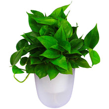 Load image into Gallery viewer, Corner Wall Planters - 2 color options for real plants with a watering system. This indoor wall planter is a great vertical gardening system that can grow real herbs and plants.  Create a vertical wall garden or a living wall indoors with a corner wall planter.  Perfect for a variety of green wall uses.
