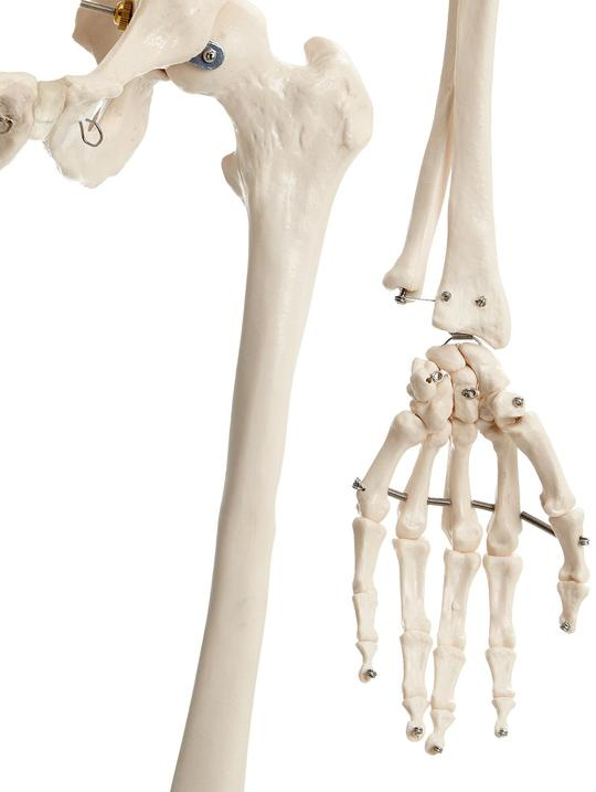 Hand and Hip of Skeleton