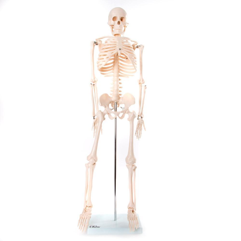 Medium Sized Skeleton