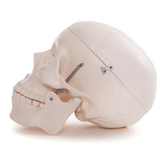 Anatomical Skull Model