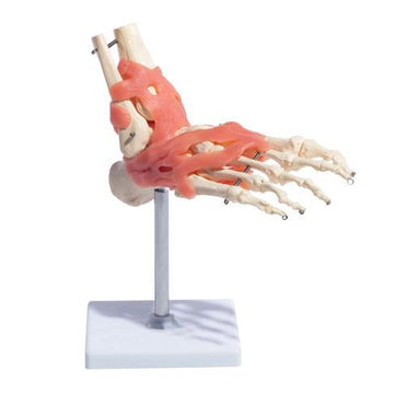Foot Joint with Ligaments