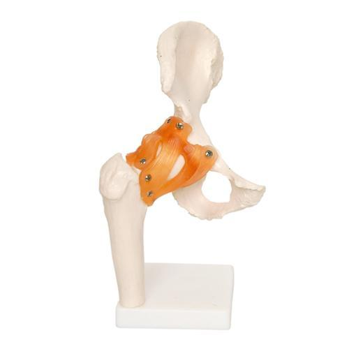 Human Hip Joint