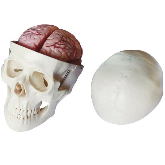 Anatomical Skull and Brain