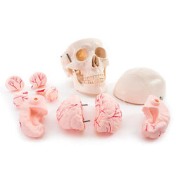 Life Size Skull and Brain