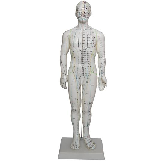 Front of Acupuncture model