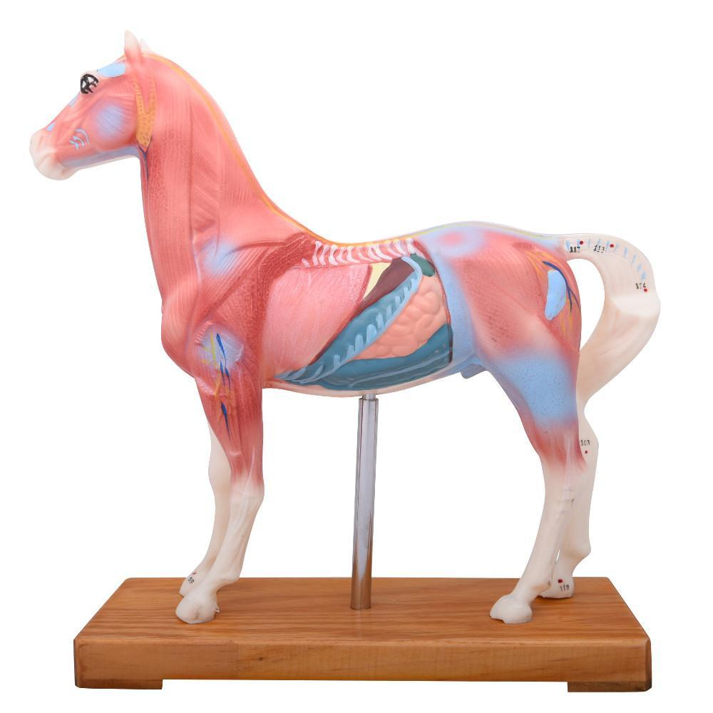 Horse Acupuncture Model