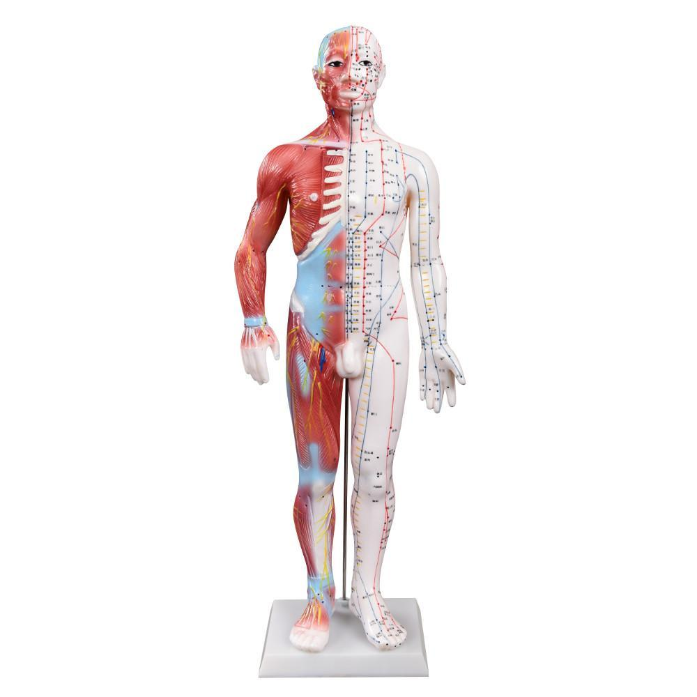 Muscle Acupuncture model front