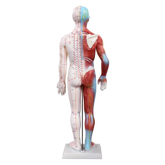 Back of Muscle Acupuncture model
