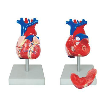 Life Size Human Heart