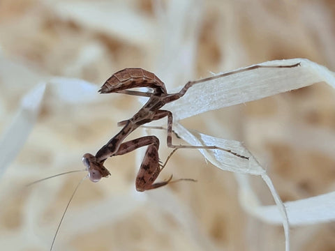 Cilnia humeralis - wide-armed mantis