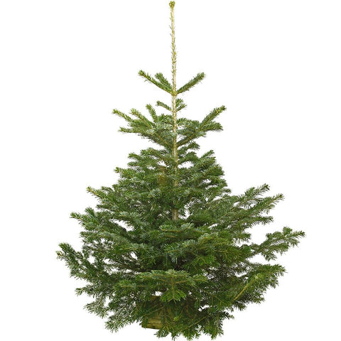 10-11 Ft Nordmann Fir Christmas Tree - Non Needle Drop