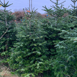 2-3 Ft Nordmann Fir Christmas Tree - Non Needle Drop