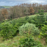 3-4 Ft Nordmann Fir Christmas Tree - Non Needle Drop