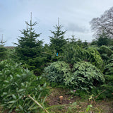 8-9 Ft Nordmann Fir Christmas Tree - Non Needle Drop