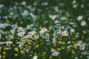 Botanical Spotlight: all you need to know about Chamomile