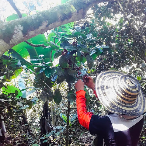 Farmer in Colombia harvesting coffee beans