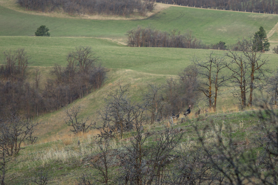Turkey hunting Diamond 7 Bar Ranch, Alva WY