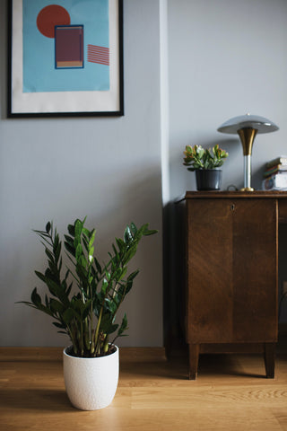 ZZ plant in a white pot in front of cabinet and grey wall with painting