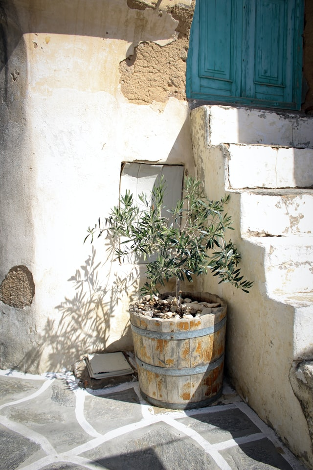 An olive tree growing outside in full sun