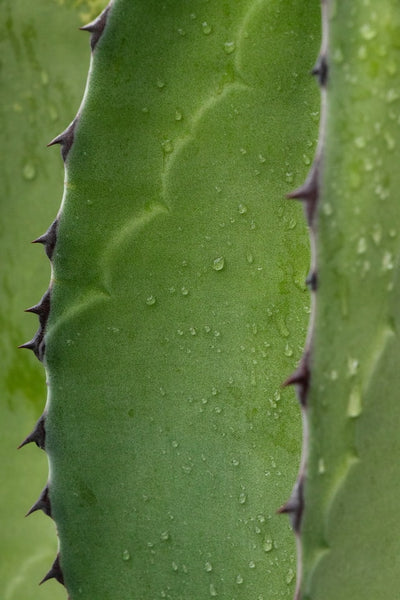A cactus with water on it