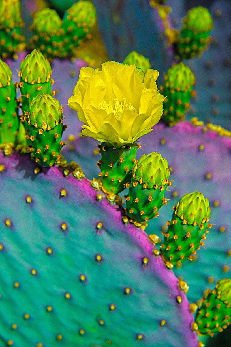 E80501-45 PRICKLY PEAR BLOOM CLOSEUP