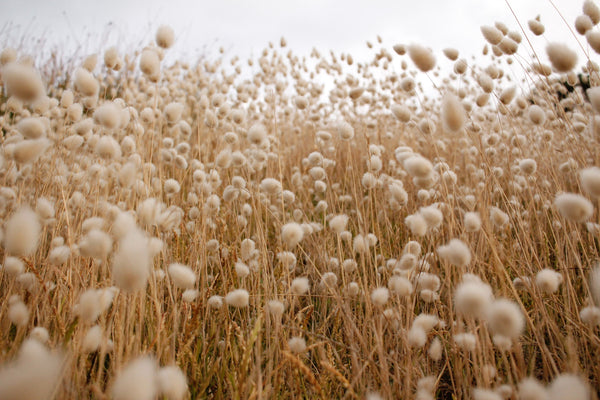 An image of cotton in a field