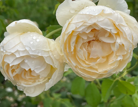A close-up of two large white roses with dew drops.