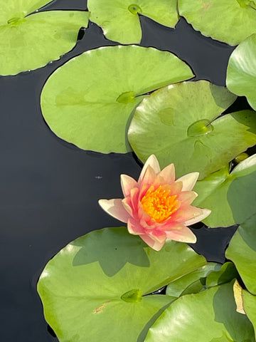 Several lily pads in a pond, with a pink lotus flower.