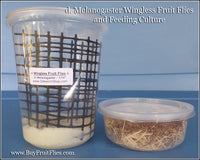 Fruit Flies 1/16'' Wingless - with Breeding Culture