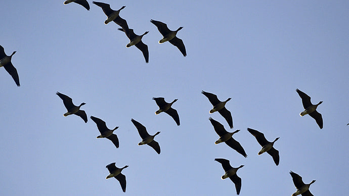 Welcoming Pink-footed Geese to the Farm