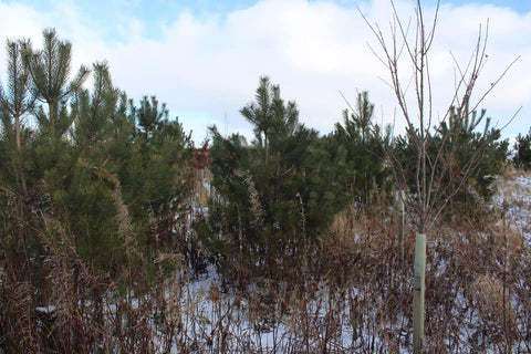 Pine trees from our 2015 plantation