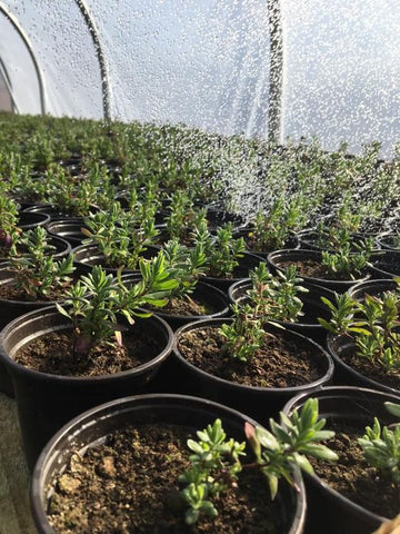 Our young lavenders enjoying a shower