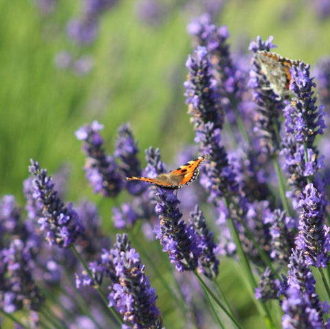 Lady painted butterfly on the lavender