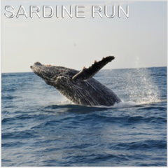 Sardine run, South Africa, Whales, sharks