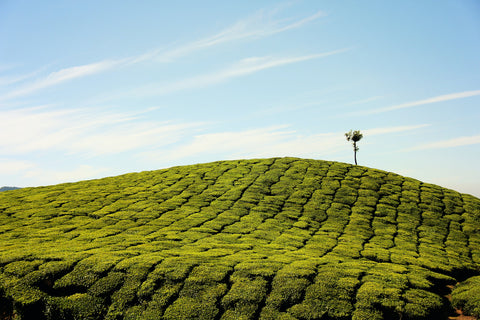 Assam tea - facts you didn't know about