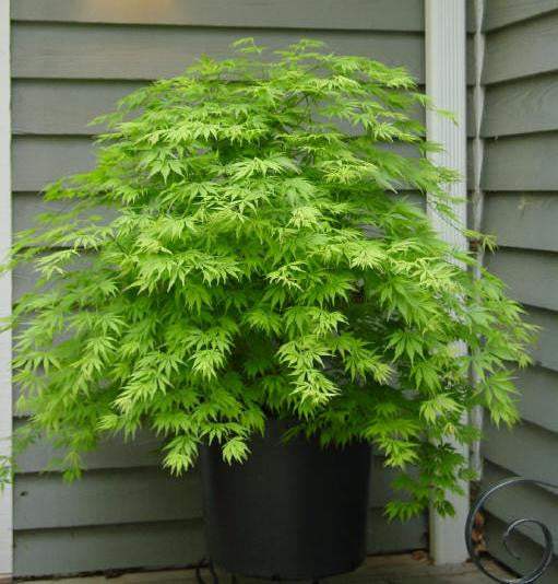 Acer Palmatum Omurayama In A 7cm Pot Oaktree Nurseries