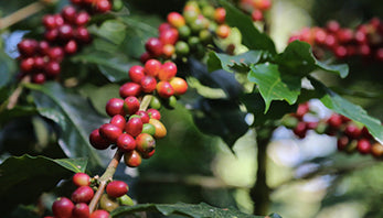 Our Coffee Our Estates