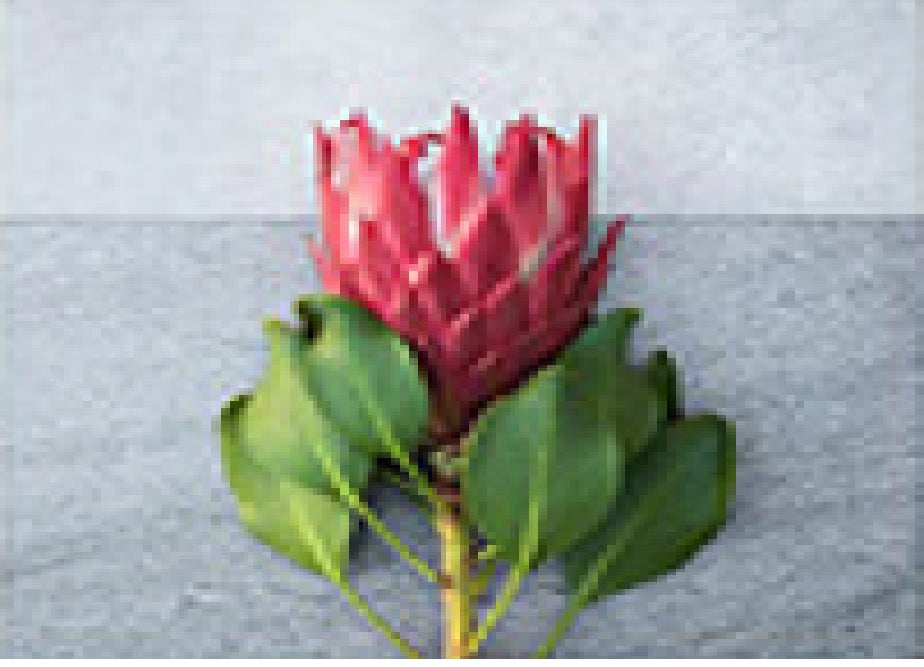 CUSHION COVER -Protea 17
