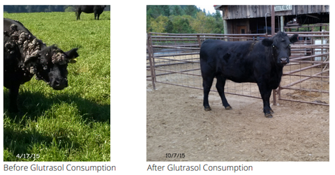 Before/After Glutrasol Consumption