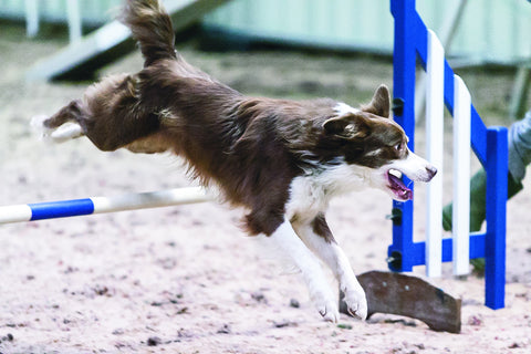Young Kennel Club Eukanuba Discover Dogs Agility Dog of the Year Qualifier - The Kennel Club