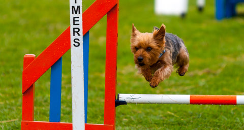 Young Kennel Club Crufts Agility Dog of the Year Qualifier - Newark