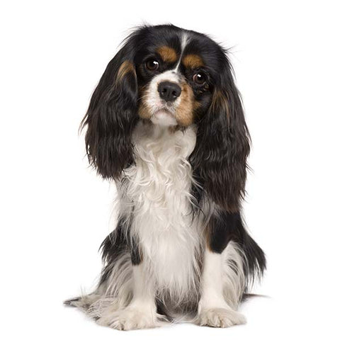 Heart Scheme assessments for Cavalier King Charles Spaniels - Wednesday 11th November