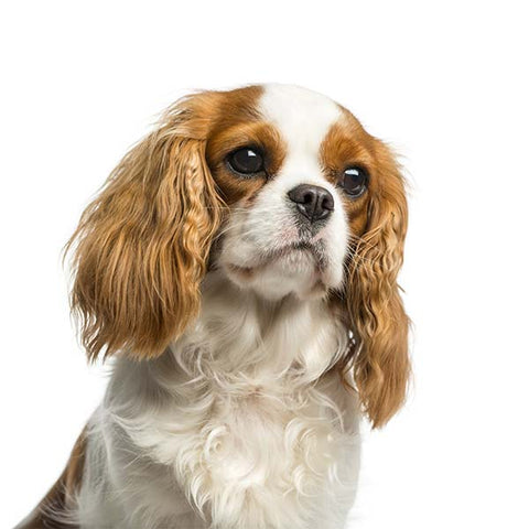 Heart Scheme assessments for Cavalier King Charles Spaniels - Friday 8th January