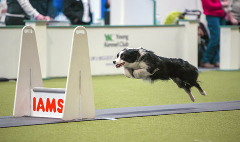 Young Kennel Club Crufts 2019 Flyball Qualifier - Newark