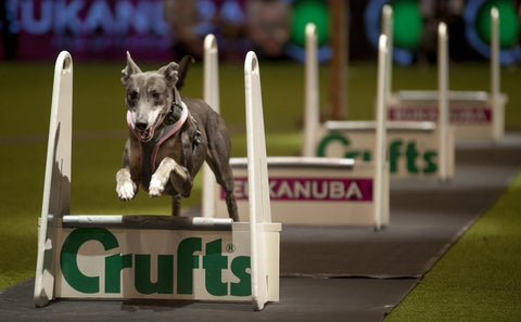 Young Kennel Club Crufts Flyball Qualifier - Newark