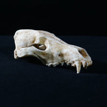 Load image into Gallery viewer, Fox Skull - Resin Reproduction