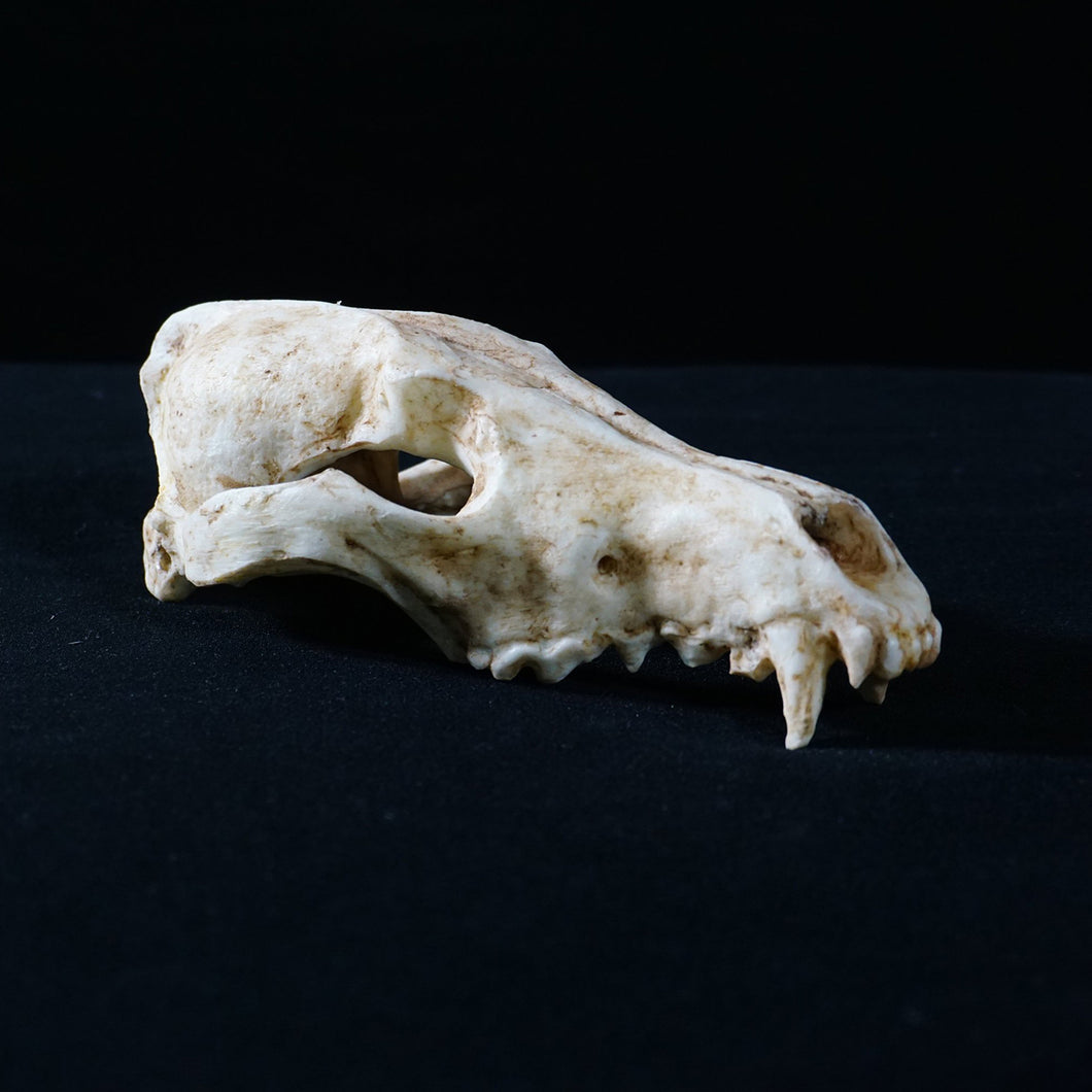 Fox Skull - Resin Reproduction