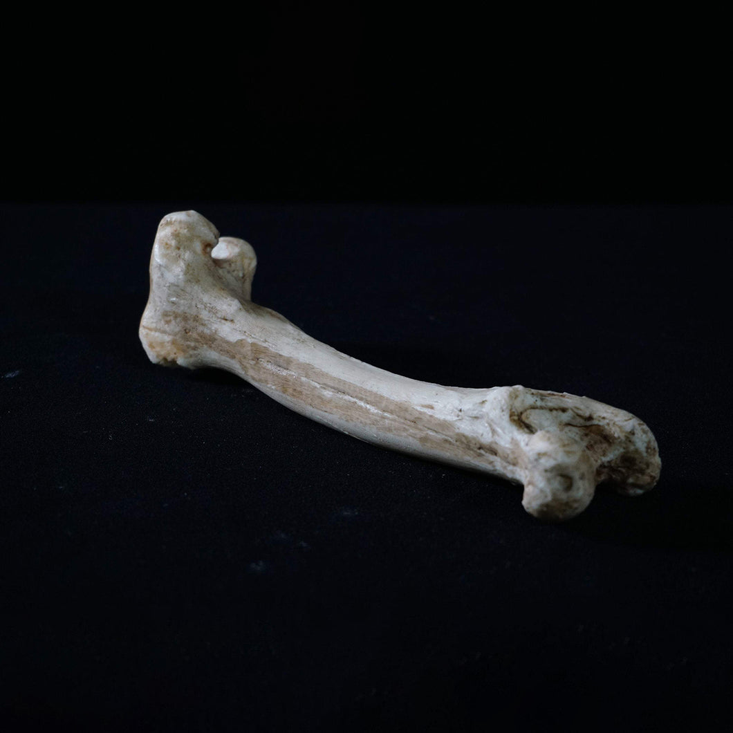 Big Goat Bone - Resin Reproduction